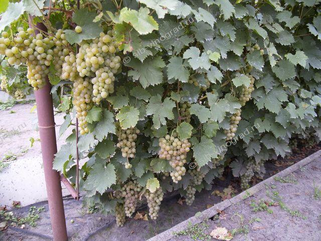 Выращивание винограда в западной сибири 3