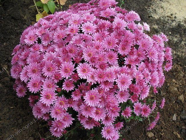 хризантемы  выращивание