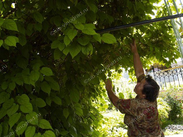 Актинидия выращивание и уход в сибири 80