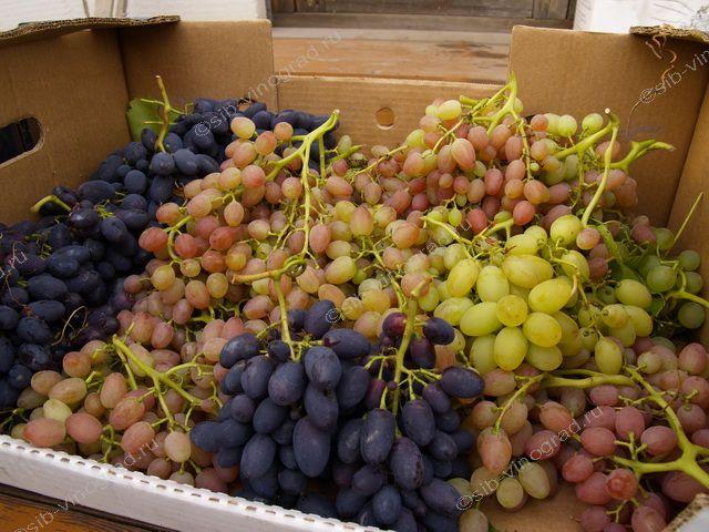Виноград на алтае, как выращивают виноград. - Сорта винограда