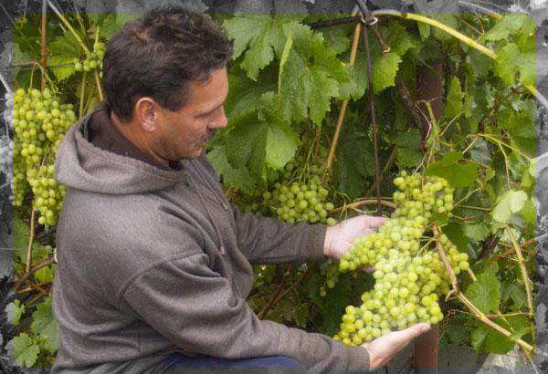 Выращивание винограда в сибири для начинающих фото 87